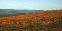 Californian Poppy Field Fine-Art Print