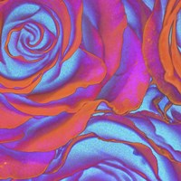 Pink Orange Blue Roses Fine-Art Print