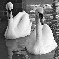 Swans In Love BW Fine-Art Print