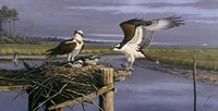 Chesapeake Treasurers - Osprey Fine-Art Print