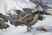 Ruffed Grouse Fine-Art Print