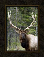 Large Elk Fine-Art Print