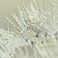 Dandelion Dew III Fine-Art Print