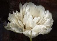 Double White Tulip Fine-Art Print