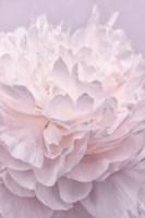 Pink Peony Petals I Fine-Art Print