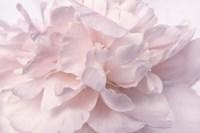 Pink Peony Petals II Fine-Art Print