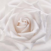 Soft White Rose Fine-Art Print