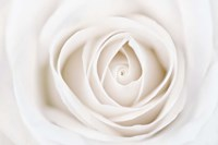 White Rose Fine-Art Print