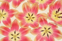 Yellow and Coral Red Tulips Fine-Art Print