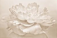 White Peony Fine-Art Print