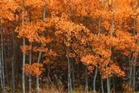Orange Trees Fine-Art Print