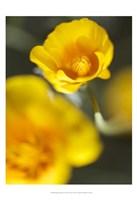 California Poppy I Fine-Art Print