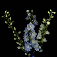 A Lighter Shade Of Pale - Delphinium Larkspur Fine-Art Print