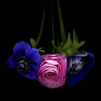 Anemone And Ranunculus Fine-Art Print