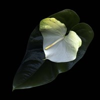 Anthurium 1 Fine-Art Print