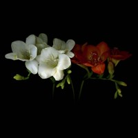 Freesia 1 Fine-Art Print