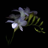 Freesia 3 Fine-Art Print