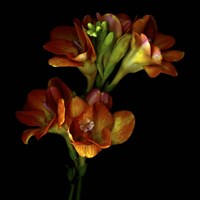 Freesia 4 Fine-Art Print