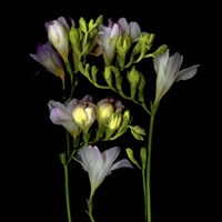 Freesia 5 Fine-Art Print