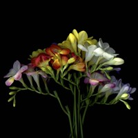 Freesia 7 Fine-Art Print