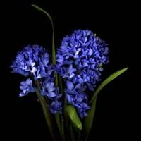 Hyacinth 1 Fine-Art Print