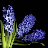 Hyacinth 3 Fine-Art Print