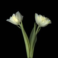 Off-White Tulips Fine-Art Print