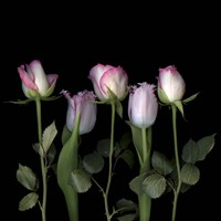 Pink Edged Tulips Fine-Art Print
