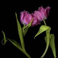 Pink Tulips 1 Fine-Art Print