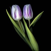 Purple And White Tulips Fine-Art Print