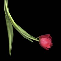 Red Tulip 1 Fine-Art Print