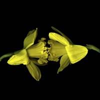 Still Kissing - Daffodils Fine-Art Print