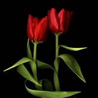 Tulips Embracing Fine-Art Print