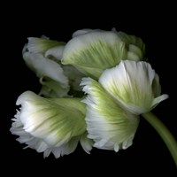 White And Green Parrot Tulip Fine-Art Print