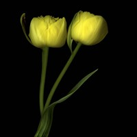 Yellow Tulips 2 Fine-Art Print