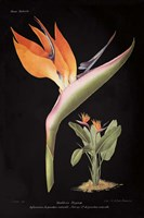 Strelitzia Reginoe on Black Fine-Art Print