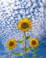 Sunflower Triad Fine-Art Print