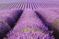 Rolling Hills of Purple Fine-Art Print