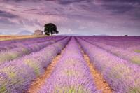 Stone House in Lavender Field Fine-Art Print
