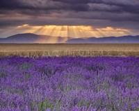 Sunbeams over Lavender Fine-Art Print