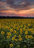 Sunflowers to the Sky Fine-Art Print