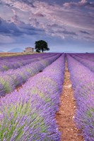 Rows Of Lavender Fine-Art Print