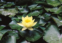 Water Lilly Fine-Art Print
