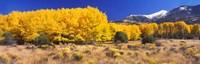 Golden Aspen Trees, Colorado Fine-Art Print