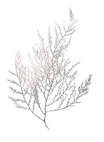 Silver Foil Algae II - Metallic Foil Fine-Art Print