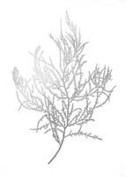 Silver Foil Algae III - Metallic Foil Fine-Art Print