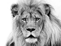 Male Lion Fine-Art Print