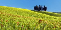 Cypress and Corn Field, Tuscany, Italy Fine-Art Print