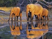 African Elephants, Okavango, Botswana Fine-Art Print