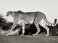 Cheetah, Namibia, Africa Fine-Art Print